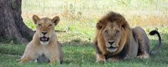 lions-175934__340
