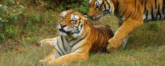tiger-688085__340