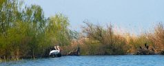 Dalmatian_Pelican_and_Great_Cormorant_in_danube_delta