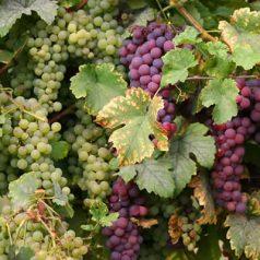 Partez pour une balade en Alsace viticole